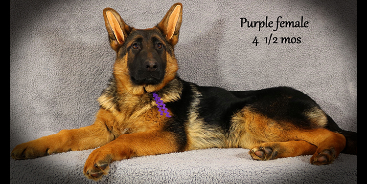 Solo x Anadja - 4 and Half Month Purple Collar Female 2