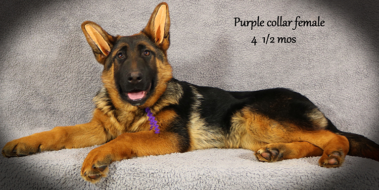 Solo x Anadja - 4 and Half Month Purple Collar Female