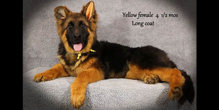 Solo x Anadja - 4 and Half Month Yellow Collar Female