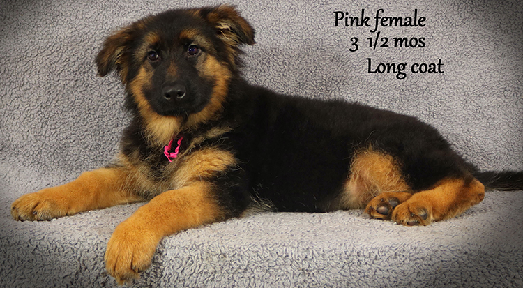 Solo x Envy - 3 and Half Month Pink Collar Female 3