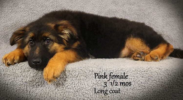 Solo x Envy - 3 and Half Month Pink Collar Female