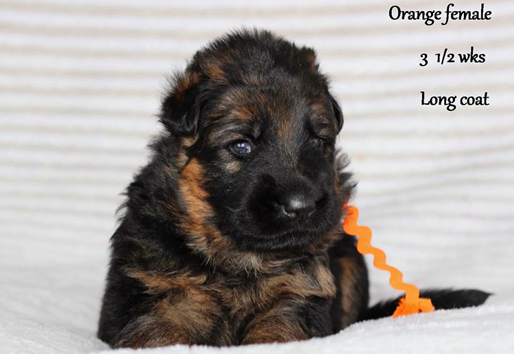Solo x Etsy - 3 and Half Weeks Orange Collar Female 1