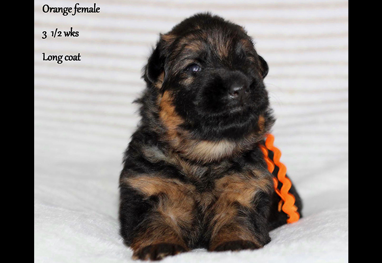 Solo x Etsy - 3 and Half Weeks Orange Collar Female 2