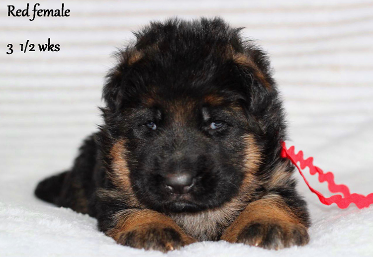 Solo x Etsy - 3 and Half Weeks Red Collar Female