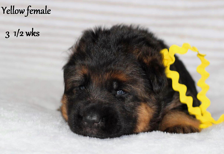 Solo x Etsy - 3 and Half Weeks Yellow Collar Female