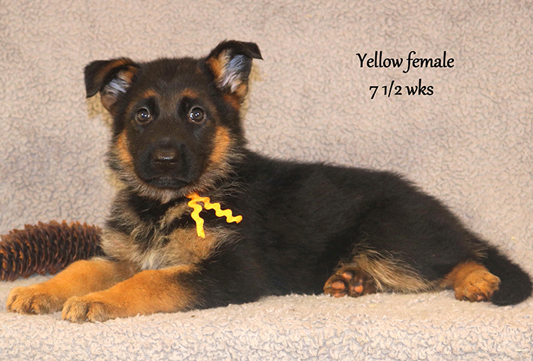 Solo x Vespa - 7 and Half Week Yellow Collar Female