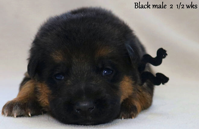 Blast x Quila - 2 and Half Week Black Collar Male