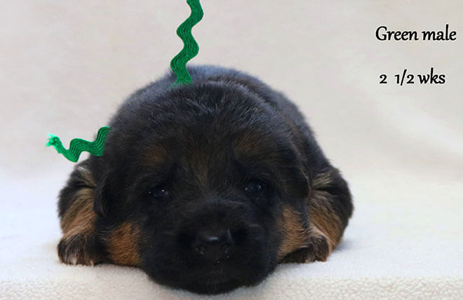 Blast x Quila - 2 and Half Week Green Collar Male