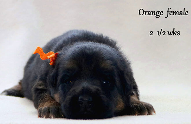 Blast x Quila - 2 and Half Week Orange Collar Female