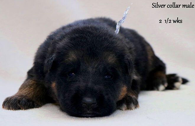 Blast x Quila - 2 and Half Week Silver Collar Male