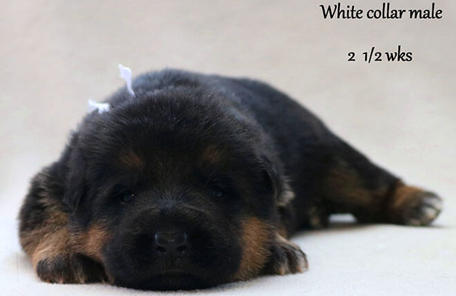 Blast x Quila - 2 and Half Week White Collar Male