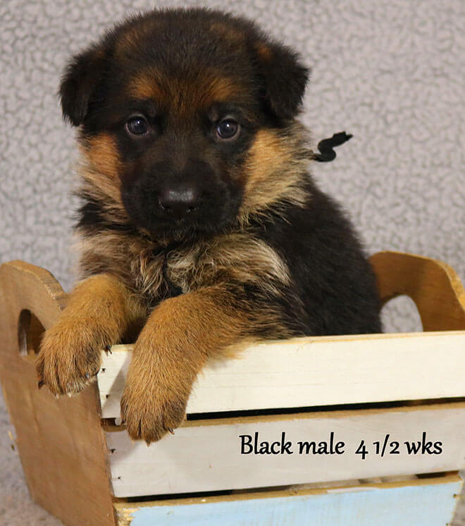 Blast x Quila - 4 and Half Week Black Collar Male