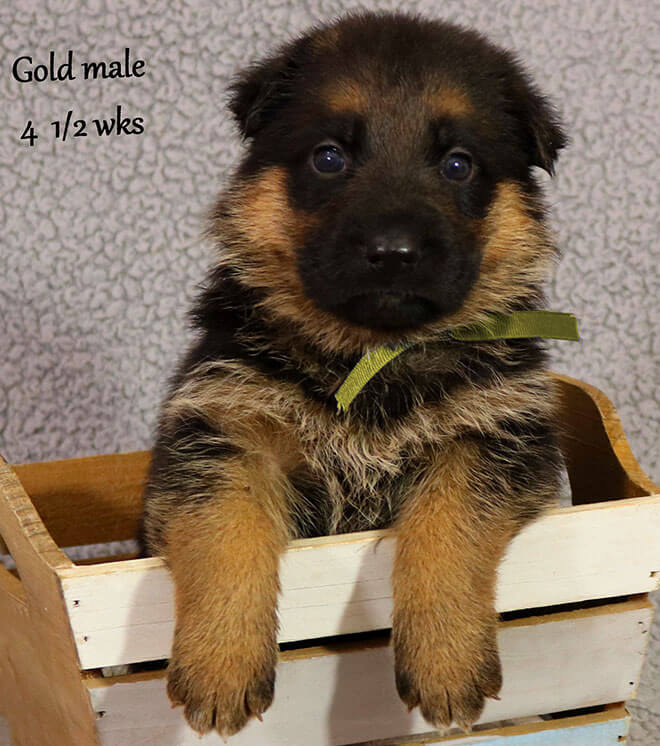 Blast x Quila - 4 and Half Week Gold Collar Male