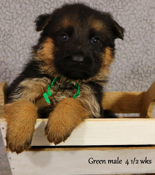 Blast x Quila - 4 and Half Week Green Collar Male