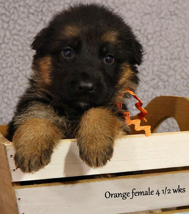 Blast x Quila - 4 and Half Week Orange Collar Female 2