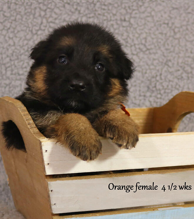 Blast x Quila - 4 and Half Week Orange Collar Female