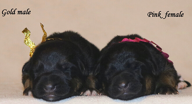Blast x Quila - Newborn Gold and Pink Collar Females