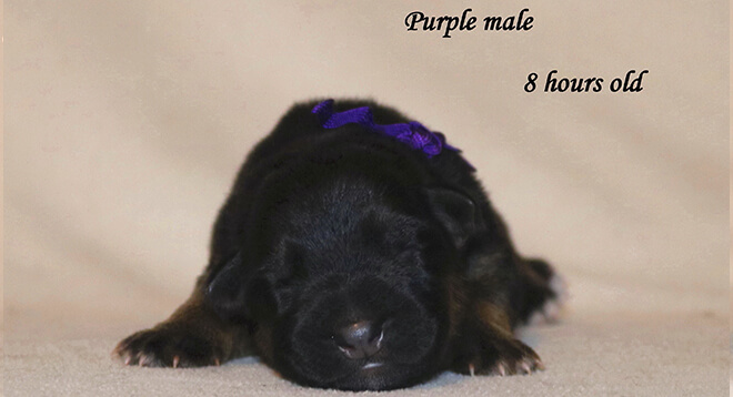 Blast x Quila - Newborn Purple Collar Male