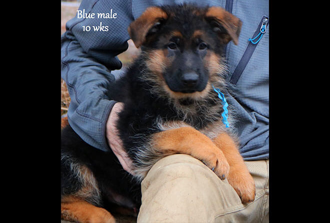 Figo x Zany - 10 Weeks Blue Collar Male 2