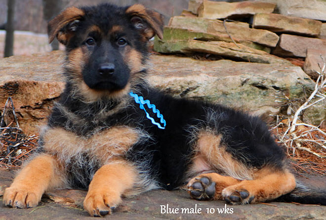 Figo x Zany - 10 Weeks Blue Collar Male