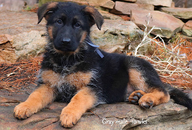 Figo x Zany - 10 Weeks Gray Collar Male 2