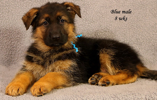 Figo x Zany - 8 Weeks Blue Collar Male 2