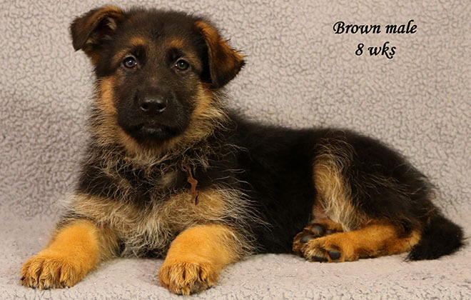 Figo x Zany - 8 Weeks Brown Collar Male
