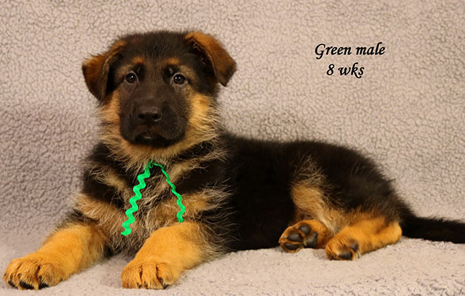 Figo x Zany - 8 Weeks Green Collar Male