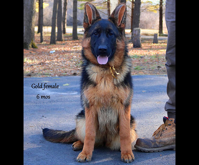 Solo x Coby - 6 Months Gold Collar Female 2