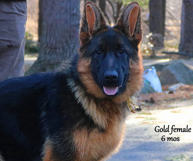 Solo x Coby - 6 Months Gold Collar Female