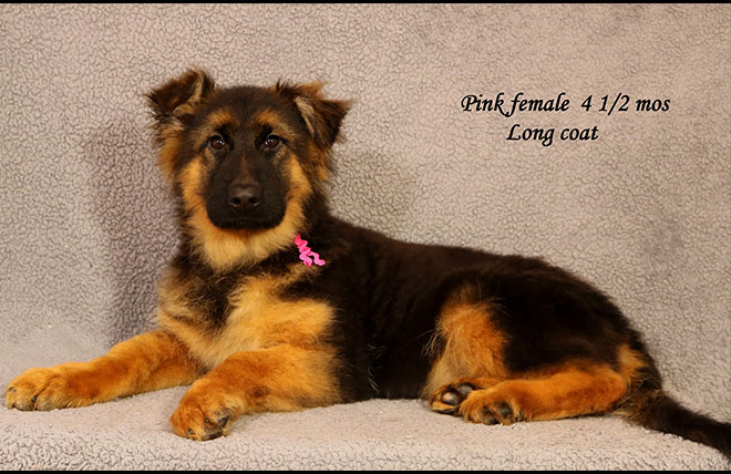 Solo x Envy - 4 and Half Month Pink Collar Female