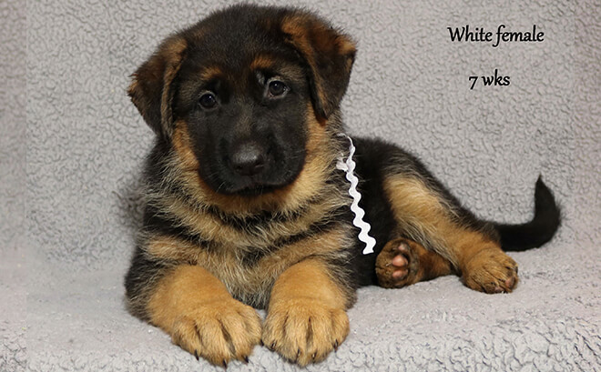 Solo x Etsy - 7 Weeks White Collar Female