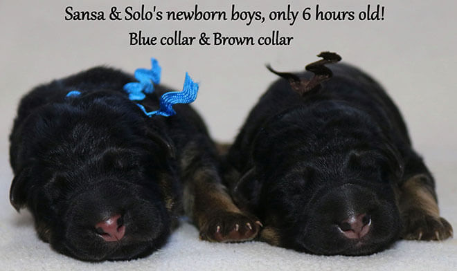 Solo x Sansa - Newborn Blue and Brown Collar Male