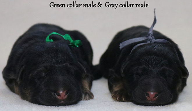 Solo x Sansa - Newborn Gray and Green Collar Male