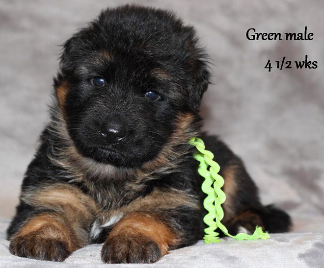 Ursus x Orchid - 4 and Half Month Green Collar Male