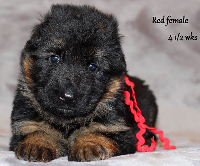 Ursus x Orchid - 4 and Half Month Red Collar Female