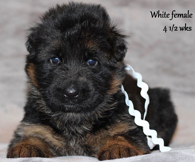 Ursus x Orchid - 4 and Half Month White Collar Female