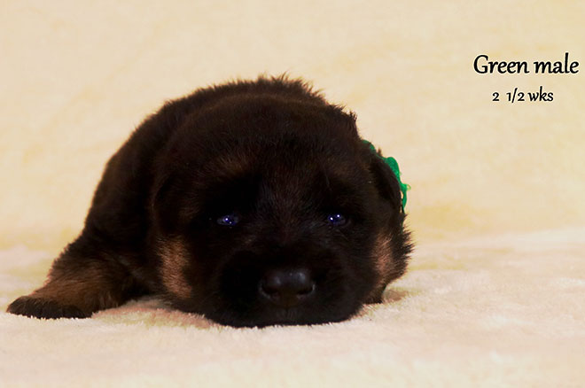 Blast x Holly - 2 and Half Week Green Collar Male