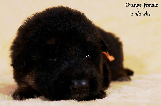 Blast x Holly - 2 and Half Week Orange Collar Female