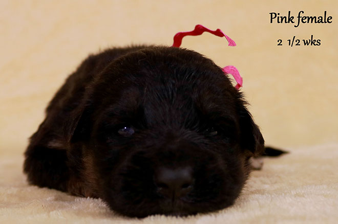 Blast x Holly - 2 and Half Week Pink Collar Female