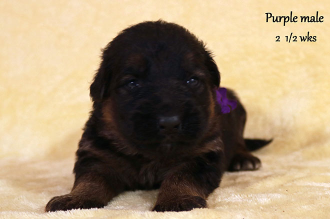 Blast x Holly - 2 and Half Week Purple Collar Male
