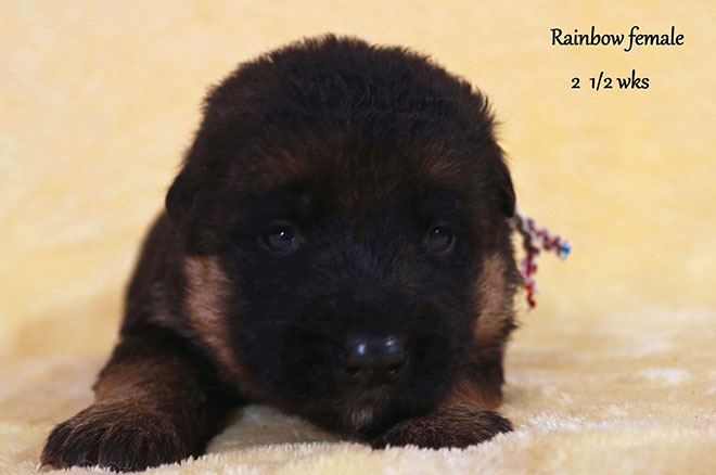 Blast x Holly - 2 and Half Week Rainbow Collar Female