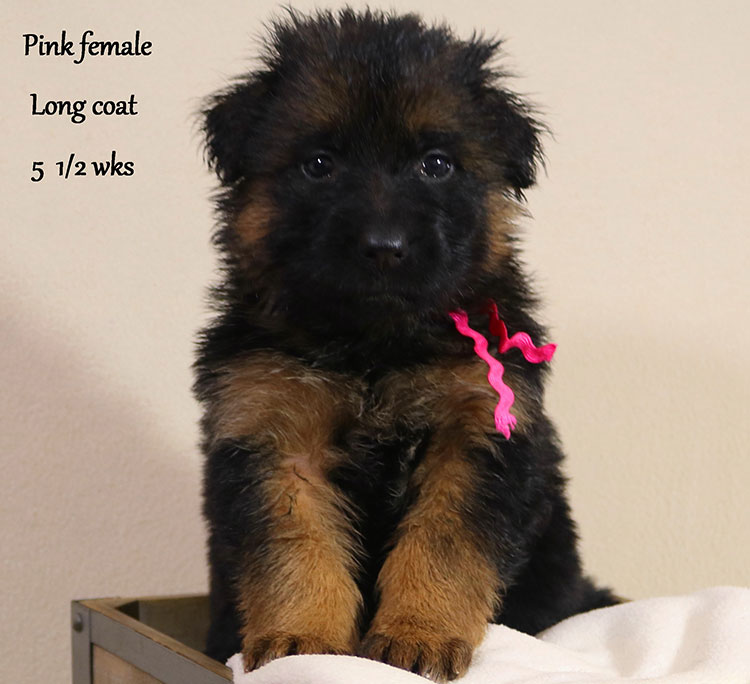 Blast x Holly - 5 and Half Week Pink Collar Female