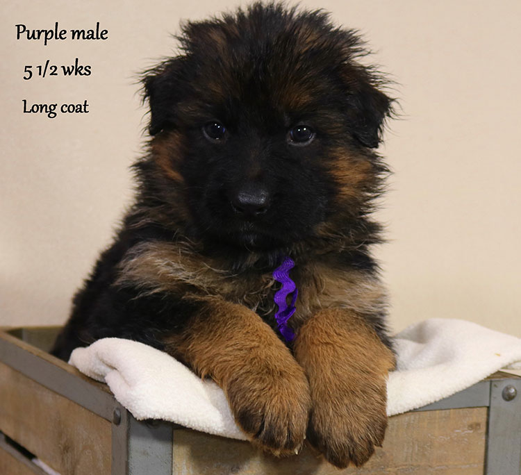 Blast x Holly - 5 and Half Week Purple Collar Male 2