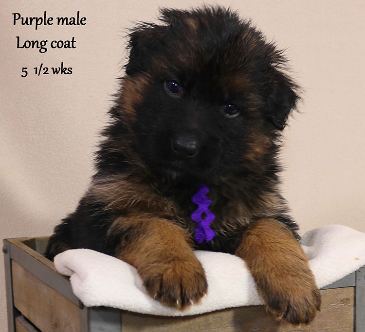 Blast x Holly - 5 and Half Week Purple Collar Male