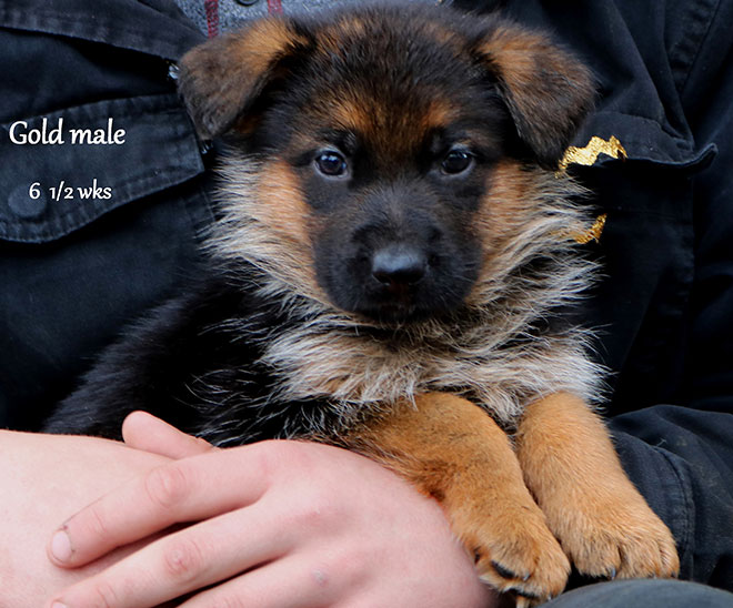 Blast x Quila - 6 and Half Weeks Gold Collar Male 2