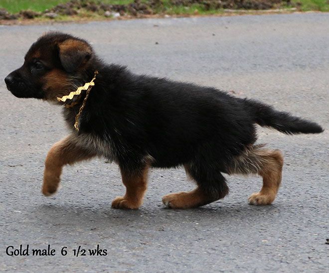 Blast x Quila - 6 and Half Weeks Gold Collar Male 3