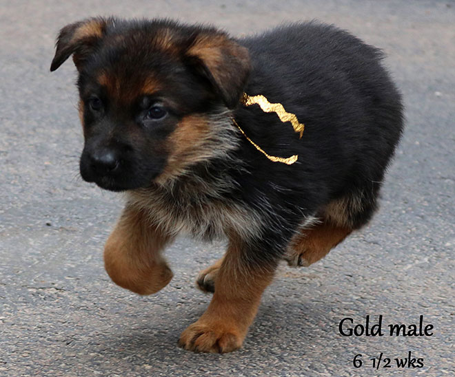 Blast x Quila - 6 and Half Weeks Gold Collar Male 4
