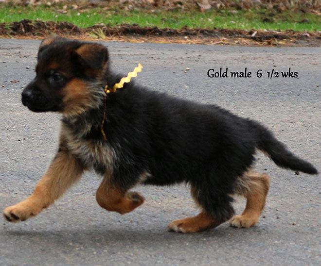 Blast x Quila - 6 and Half Weeks Gold Collar Male
