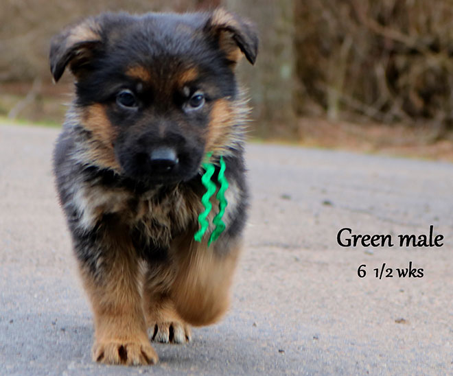 Blast x Quila - 6 and Half Weeks Green Collar Male